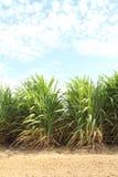 Sugarcane Stock Photos