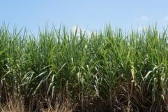 Sugarcane Stock Images