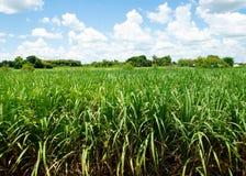 Sugarcane and bluesky royalty free stock photography