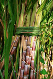Sugarcane Bunch royalty free stock photos