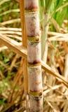 Sugarcane Bunch Stock Photo