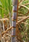 Sugarcane Bunch Stock Image