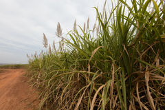 Sugarcane, Burkina Faso. Sugarcane cultivations in Cascades region, Burkina Faso royalty free stock image