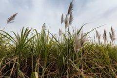 Sugarcane, Burkina Faso Stock Image