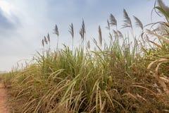 Sugarcane, Burkina Faso Royalty Free Stock Photography