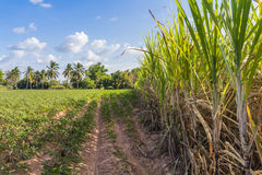Sugarcane Royalty Free Stock Photo
