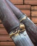 Sugarcane. Closeup of a bud  sugarcane have a red brick behind Stock Photos