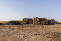 Sugarcane Crop Bundles Yard Royalty Free Stock Photo
