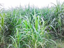 Sugarcane crop field. sugarcane farming and agriculture. Stock Photography