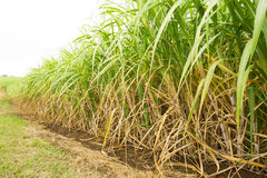 Sugarcane crop Royalty Free Stock Photography