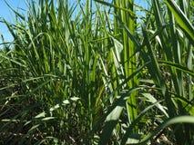 Sugarcane crop at Thai farm Stock Image