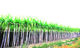 Sugarcane crops Royalty Free Stock Image