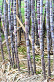 Sugarcane cultivate Stock Photo