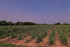 Sugarcane cultivation, soil mulching and weed control. Farm management royalty free stock images