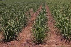 Sugarcane cultivation, soil mulching and weed control. Farm management stock images