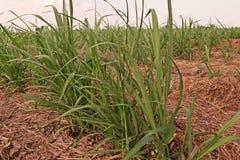 Sugarcane disease. Causes by fungi,sugarcane smut Stock Images