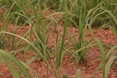 Sugarcane disease. Causes by fungi,sugarcane smut Royalty Free Stock Photo