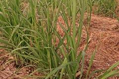 Sugarcane disease. Causes by fungi,sugarcane smut Stock Photo