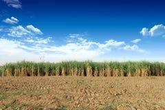 Sugarcane em Tailândia Fotografia de Stock