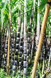 Sugarcane Royalty Free Stock Image