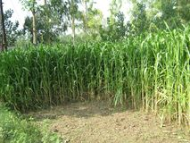 SUGARCANE FARM IN MEERUT , INDIA royalty free stock photo