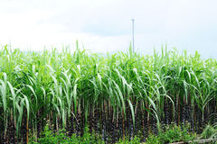 Sugarcane farm Stock Photo