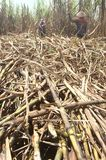 Sugarcane Stock Images