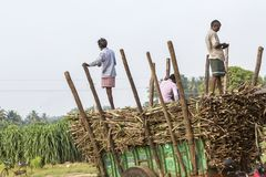Sugarcane farmers are farmers who rely on the diligence of livelihood. A lot of sugar cane Enough to yield a living. PONDICHERY, PUDUCHERRY, TAMIL NADU, INDIA royalty free stock photography