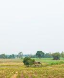 Sugarcane. Sugarcane farming area. Sugarcane to produce sugar. A small house. In the crop area stock photo