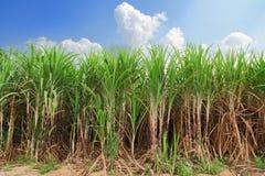 Sugarcane field. In blue sky stock image