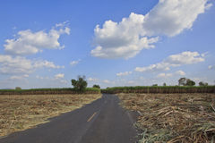 Sugarcane field. In blue sky and white cloud in Thailand stock image