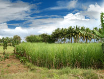 Sugarcane field. Surrounding with coconut trees with blue sky and clouds royalty free stock photo