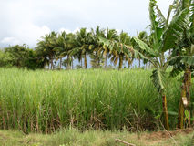 Sugarcane field. Surrounding with coconut & banana trees with blue sky and clouds royalty free stock images