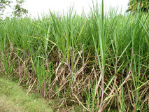Sugarcane field royalty free stock photo