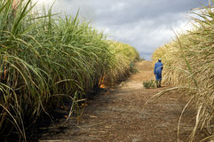 Sugarcane field Royalty Free Stock Photography
