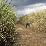 Sugarcane field Royalty Free Stock Images