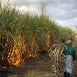 Sugarcane field Royalty Free Stock Photo