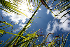 Sugarcane field in Africa. Sugarcane against blue sky in the island of Mauritius, Africa royalty free stock photo