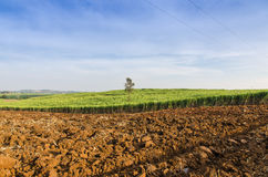 Sugarcane field agriculture tropical farm landscape Royalty Free Stock Photography