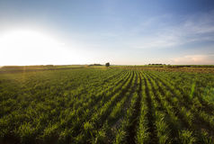 Free Sugarcane Field At Sunset. Agriculture Field At Sunset. Royalty Free Stock Photography - 75539307