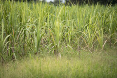 The sugarcane in the field Royalty Free Stock Images