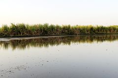 Sugarcane field begining royalty free stock image