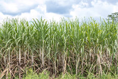 Sugarcane field Stock Images