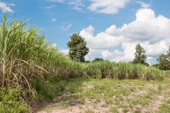 Sugarcane field Stock Photography