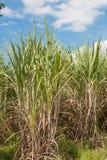Sugarcane field Stock Photos