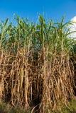 Sugarcane Stock Photo