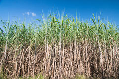 Sugarcane Royalty Free Stock Photo