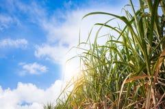sugarcane field Royalty Free Stock Photos