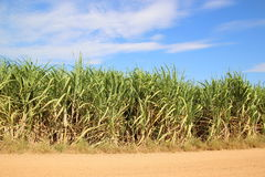 Sugarcane field blue sky background Royalty Free Stock Photo