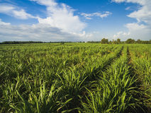Sugarcane field with blue sky Stock Images
